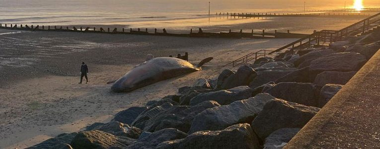 Mysterious Mutilations of Large Sperm Whales in England.